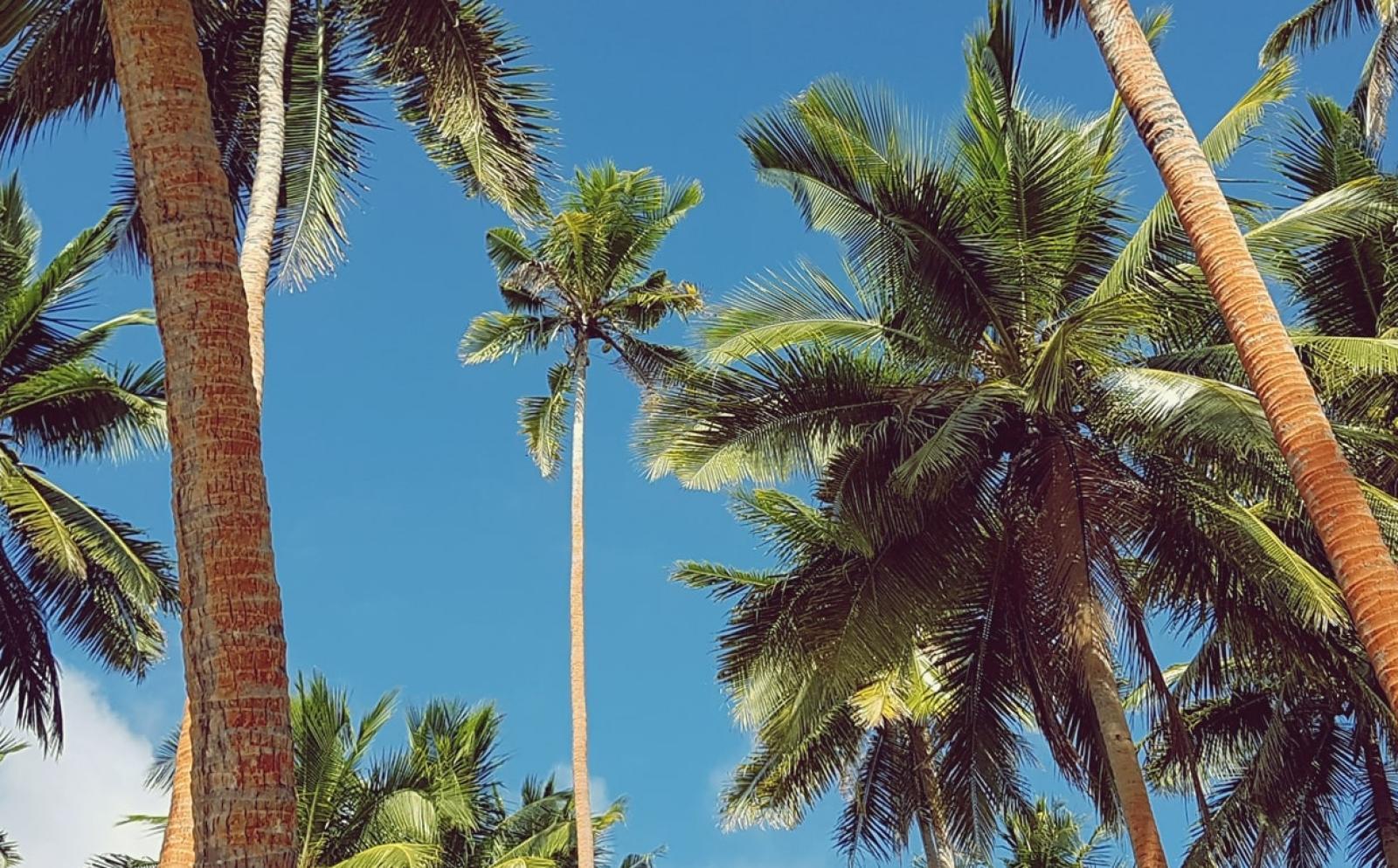 青い空に映えるフィジーのヤシの木